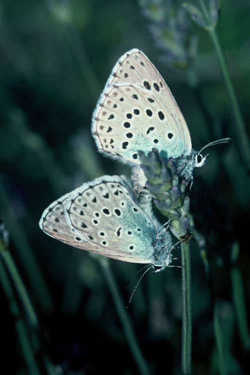 Large blues mating