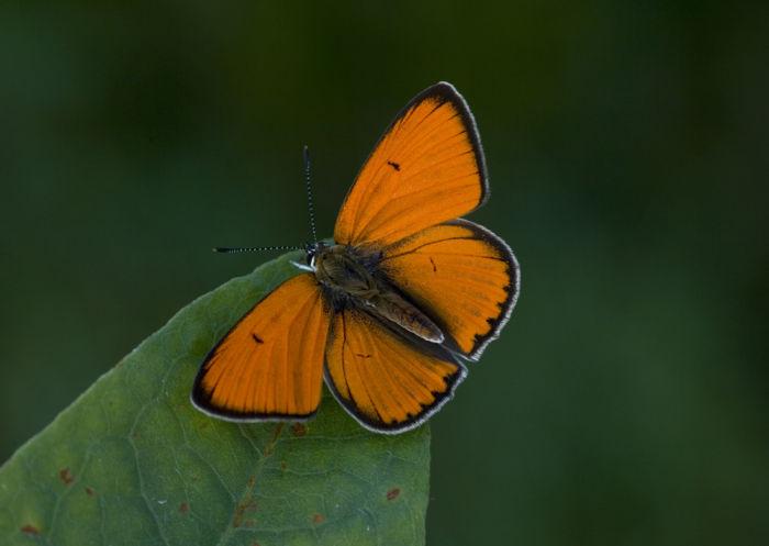 Large copper male