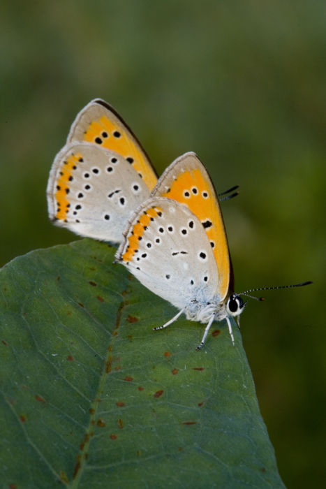 Large coppers underside