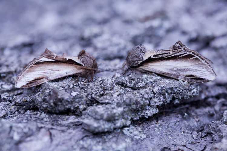 Lesser swallow and Swallow prominent moths