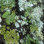 Lichens on Cork Oak