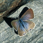 Long tailed blue female