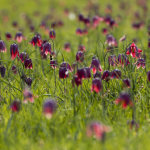 Snakeshead Fritillaries heavenly bee