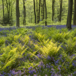 Backlit ferns and bluebells