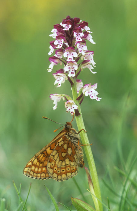 Marsh Fritillary and Burnt tip orchid
