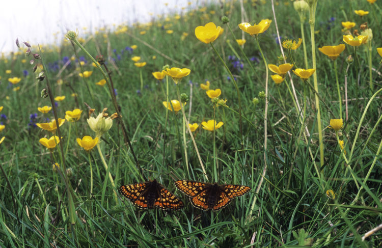 Chalk Downland and Marsh fritillary butterflies