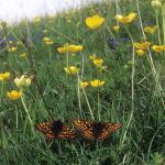 Chalk Downland and Marsh fritillary butterflies