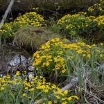 Marsh Marigold in Alder woodland