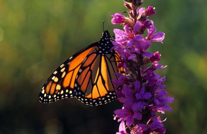 Monarch butterfly backlit