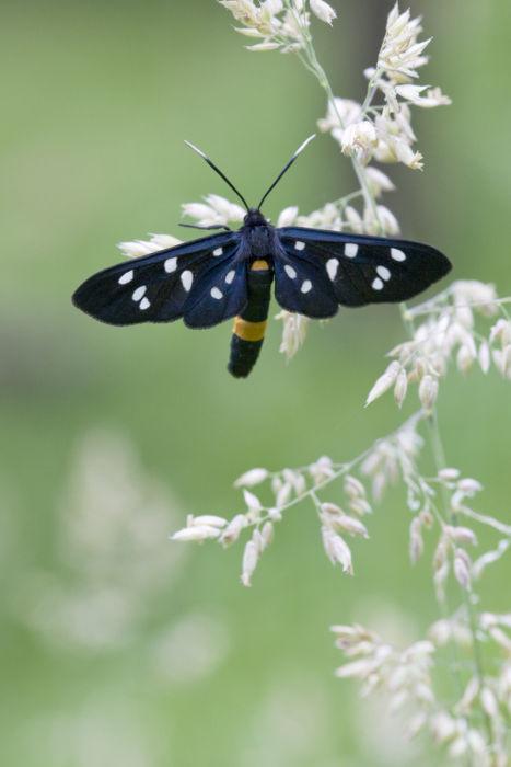 Nine spot moth