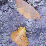 Oak hook tip and Canary shouldered thorn
