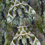 Oleander hawk moths