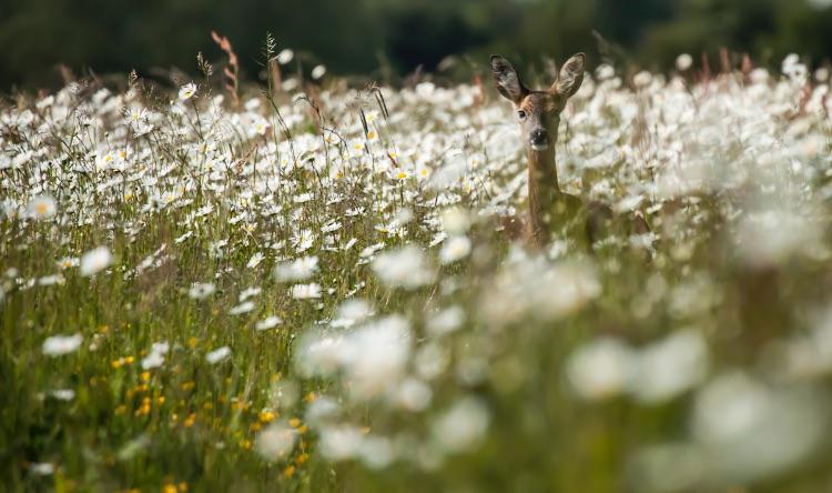 Roe Deer amongst Ox-eye daisies