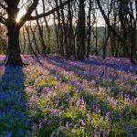 Gopher Wood Bluebell sunrise