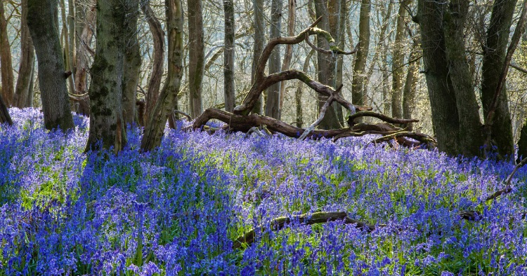 Bluebells Gopher Wood Pewsey Downs