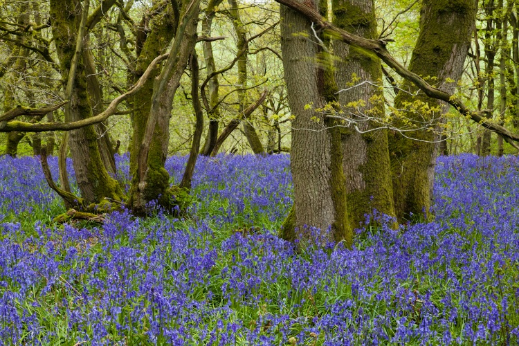 Gopher Wood Ancient oaks and bluebells