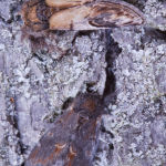 Pebble prominent and Iron prominent