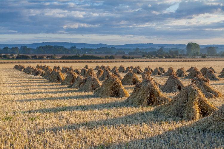Corn Stooks Pewsey Vale