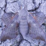 Poplar Hawk female