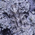 Poplar grey