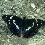 Purple emperor male