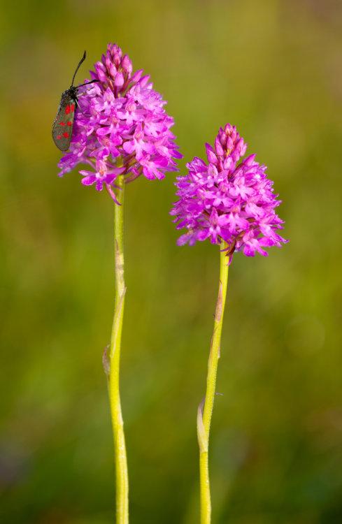 Pyramidal Orchids and 6 spot Burnett moth