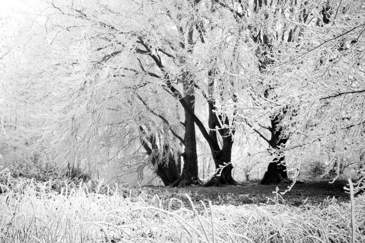 Beech Trees and Hoar frost