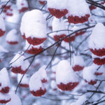 Rowan berries and snow