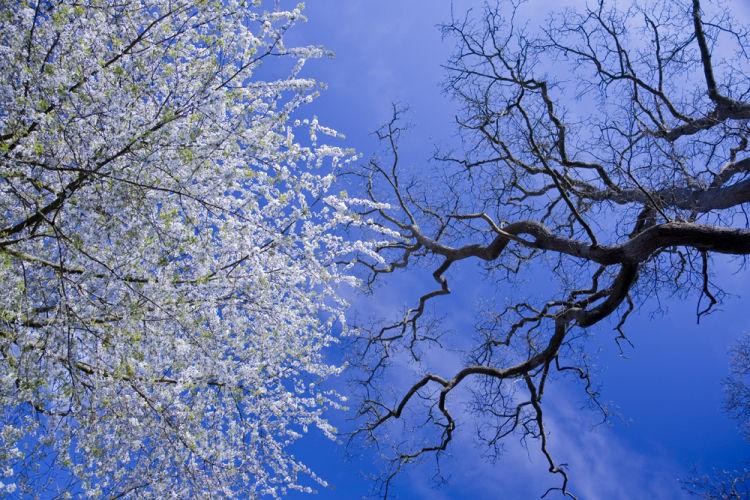 Wild Cherry and Oak