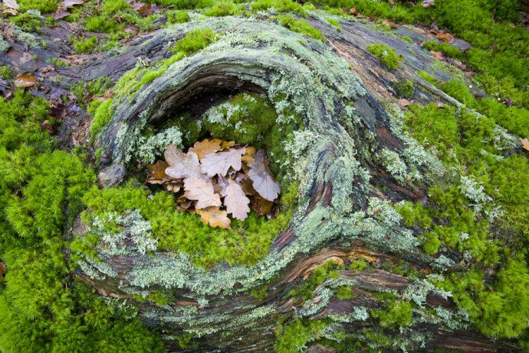 Fallen Oak