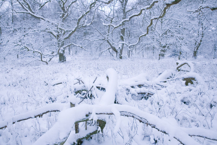 Savernake Forest Snow