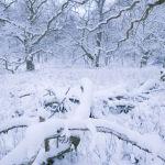 Savernake Forest Snow