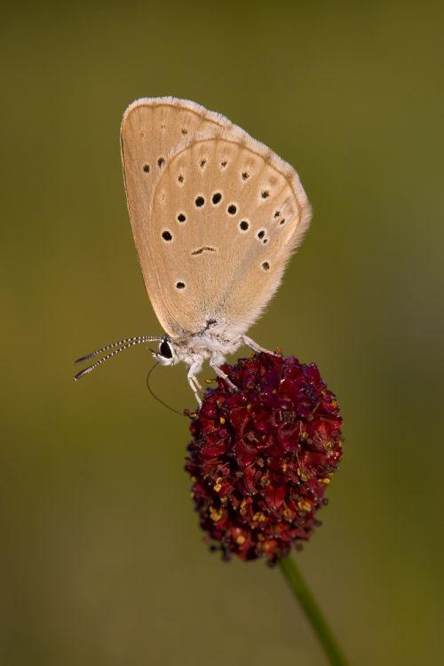 Scarce large blue nectaring
