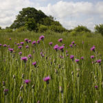 Meadow thistle in neutral meadow