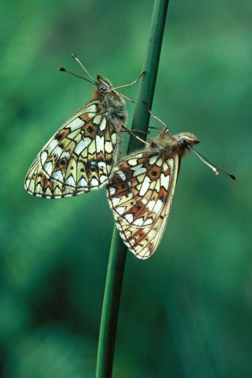 Small pearl-bordered fritillaries mating
