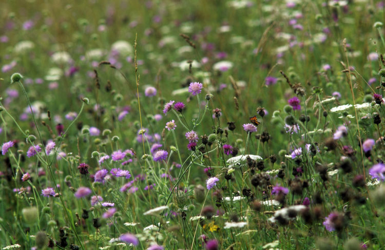 Chalk grassland flowers and small tortoiseshell