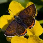 Violet copper male