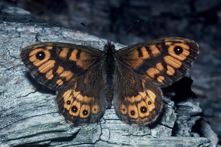 Wall Brown male