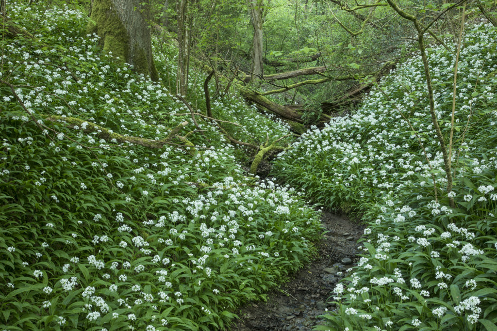 Wild Garlic Lower Woods Gloucestershire