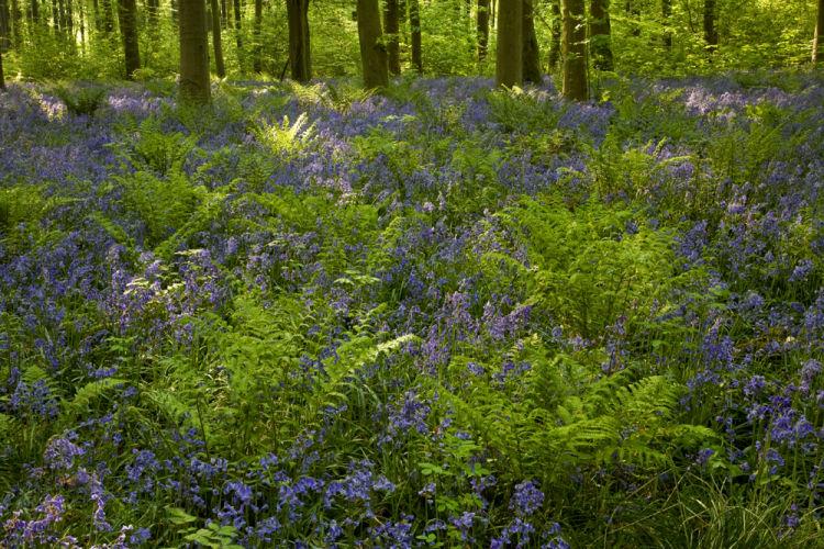 Beech Trees, bluebells and ferns