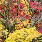 Autumn maples Westonbirt Arboretum