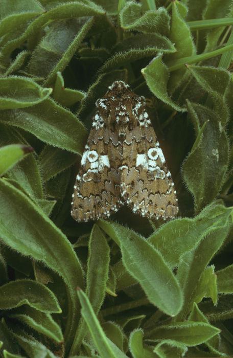 White spot moth