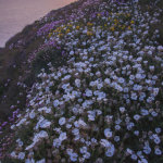 Sea Campion Cornwall