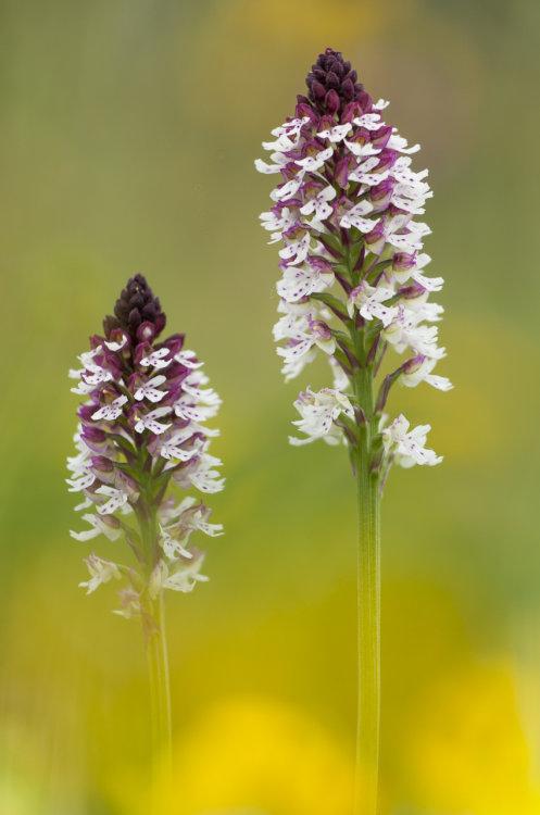 Burnt orchids