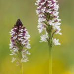 Burnt orchids
