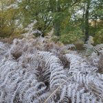 Frosted Bracken Savernake Forest