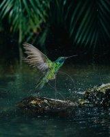 VIOLET-EARED HUMMINGBIRD