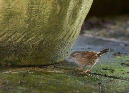 Dunnock or Hedge Sparrow 841