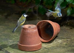 Great Tit and Blue Tit 431