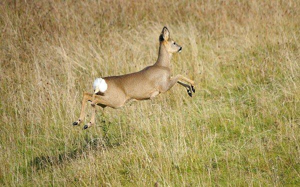 Run Deer run
